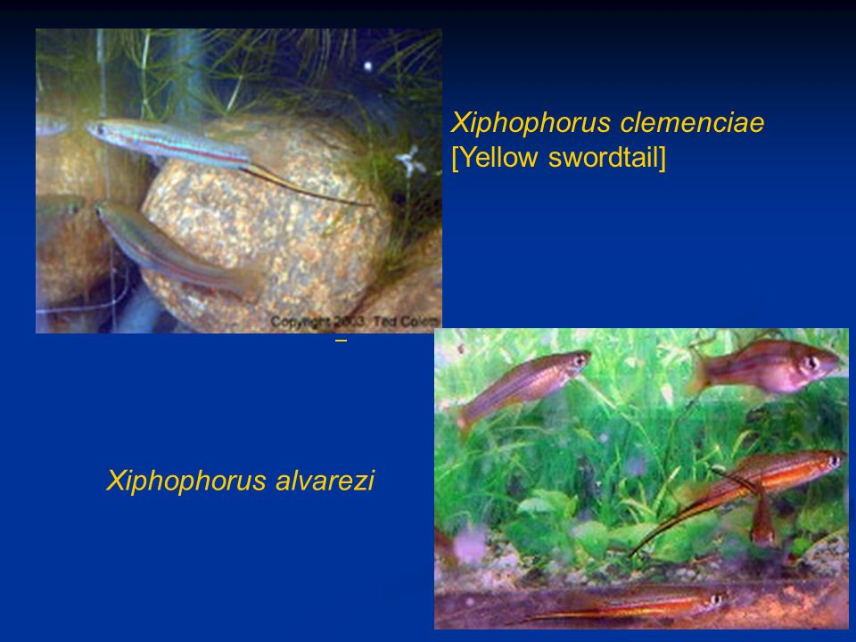 Xiphophorus clemenciae [Yellow swordtail]